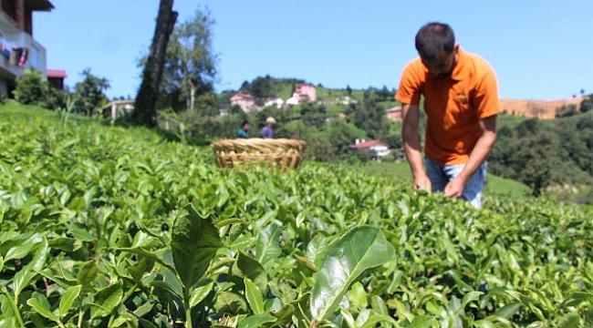 Bu çay Dünyada Sadece Of'ta Üretiliyor