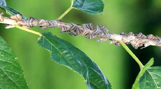 Doğu Karadeniz'i esir alan böcek, vatandaşların korkulu rüyası oldu