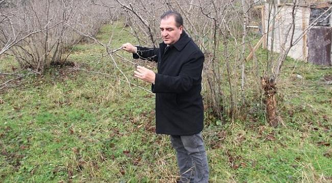 Fındıkta Büyük Tehlike: 'Kahverengi Kokarca'