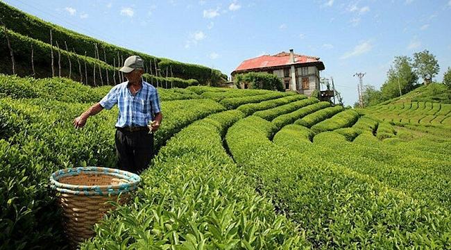 Çay üreticisine koronavirüs çağrısı: Virüs yayabilir, erteleyin!