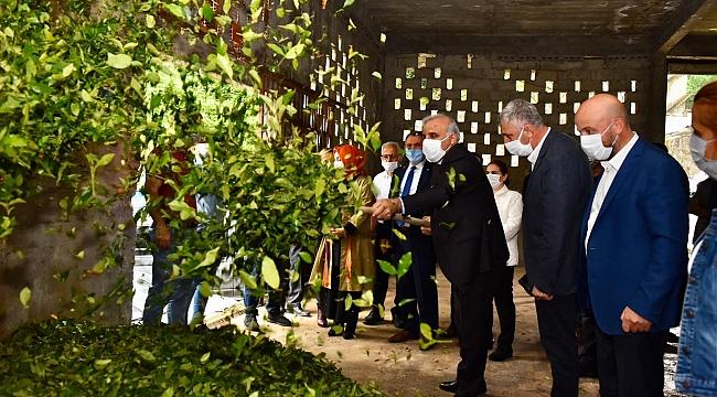 Doğu Karadeniz Bölgesi'nde çay sezonu açıldı