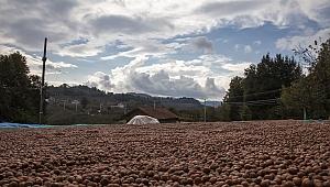 Fındığı yerden toplama ürün kalitesini de yükseltiyor